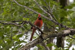 Cardinal_4745a (sknight56) Tags: male bird cardinal
