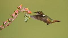 Volcano Hummingbird in Flight (Raymond J Barlow) Tags: travel costarica hummingbird wildlife workshop tours avianexcellence raymondbarlowphototours