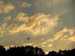 Early morning sunrise (horses merci) Tags: trees summer bird clouds sunrise flying farm golds