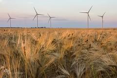 Nos moulins  vent (photosenvrac) Tags: nature vent photo culture cereales campagne beauce bl orge eoliennes thierryduchamp