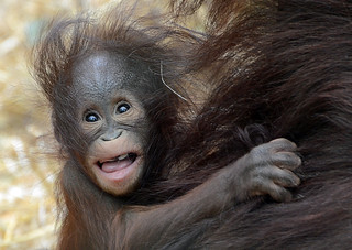 Orang Utan Baby Ciri ist einfach zu niedlich.