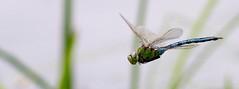 Emperor Dragon Fly in flight