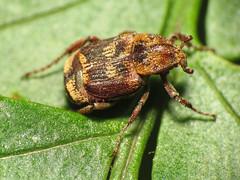 Fancy Chafer (treegrow) Tags: macro nature insect washingtondc beetles rockcreekpark arthropoda coleoptera lifeonearth raynoxdcr250 cetoniidae canonspeedlite430exii valguscanaliculatus taxonomy:binomial=valguscanaliculatus canonpowershotsx40hs