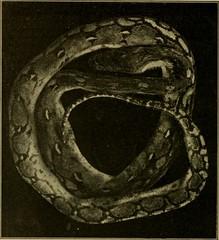 Anglų lietuvių žodynas. Žodis python sebae reiškia <li>python sebae</li> lietuviškai.