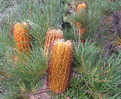 Flowering Banksia (spelio) Tags: house garden bush walk australian parliament canberra act 2014 australiancapitalterritory