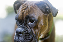 Happy 1st Birthday to Lucy - our bouncing baby brindle boxer! (fj40troutbum) Tags: beautiful lucy raw boxerdogs boxer brindle topaz petportrait adjust canon85mmf18 85mm18 cs5 gregholland