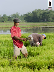Bunot 01 (Seedlings Pulling) (ilusyonimages) Tags: street asian photography asia farm philippines farming images illusion filipino farmer ricefields ilusyon