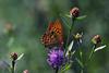Butterfly (rudy19691) Tags: flower nature butterfly germany bayern bavaria bokeh papillon duitsland vlinder d60 potofgold nikonflickraward