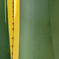 Agave americana variegata (TheManWhoPlantedTrees) Tags: green nature lines yellow succulent agave thorns plantae centuryplant quadrado agaveamericana agaveamericanavariegata agavesp quadratum nikond3100 tmwpt