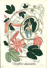 Passiflora vitifolia - circa 1816 hs (Swallowtail Garden Seeds) Tags: flowers public fruit illustration vintage garden botanical vines passiflora botany santarosa passionflower horticulture domain publicdomain passionvine floweringvine botanicalillustration swallowtailgardenseeds vineillustration