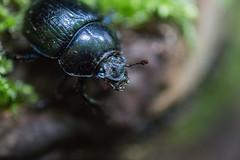 Verbuggt (sfp - sebastian fischer photography) Tags: macro nature fauna bug insect deutschland minolta sony natur 100mm zwingenberg af alpha makro insekt f28 kfer badenwrttemberg wolfsschlucht a99v seelenpfluecker
