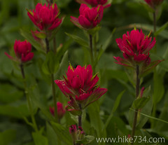 "Indian Paintbrush • <a style=""font-size:0.8em;"" href=""http://www.flickr.com/photos/63501323@N07/14690178119/"" target=""_blank"">View on Flickr</a>"