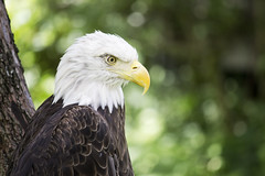 Bald Eagle (DFChurch) Tags: bird nature animal tampa zoo eagle florida bokeh bald fl haliaeetusleucocephalus lowrypark