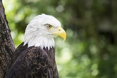 Bald Eagle (DFChurch) Tags: bird nature animal tampa zoo eagle florida bokeh bald fl haliaeetusleucocephalus lowrypark