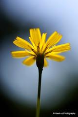 Growing for Light (IdeaLuz Photography) Tags: light shadow wild plant flower macro nature fleur yellow jaune high key bokeh sony low tubes sigma extension 60mm proxy nex nex5t