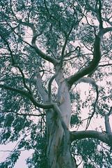 You Calyptus! (harry harris) Tags: tree 200 unknown eucalyptus week2 bessar ltd burystedmunds cosinavoigtlander lenstagger parentsoldhouse colourdrift 200colour fujiphotofilmco expired0601 52films lloydspharmacyprobferrania lloydspharmacy200colour cosinavoigtlanderbessar200fujiphotofilmcoltdunkn cosinavoigtlanderbessar200fujiphotofilmcoltdunknownlloydspharmacyprobferrania200colourlenstagger