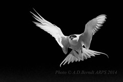 "Arctic Tern in Mono • <a style=""font-size:0.8em;"" href=""http://www.flickr.com/photos/39055059@N04/14778923836/"" target=""_blank"">View on Flickr</a>"