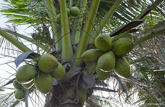 XOKA1604s (forum.linvoyage.com) Tags: coconut palm  phuketian phuketphotographernet forumlinvoyagecom httpforumlinvoyagecom outdoor phuket samui thailand krabi pattaya