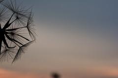 Pusteblume (kretzschmar.nicole@gmx.de) Tags: sunset sky field village cereal sachsen nothing brandenburg pusteblume blowball