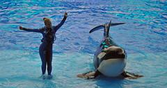 Give a Little Wiggle...... (littlestschnauzer) Tags: show park usa female fun dance orlando nikon florida action stage performance platform parks adventure killer whale whales orca seaworld shamu trainer orcas wiggle