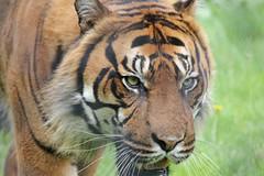 Sumatran Tiger (RedCat09) Tags: sumatrantiger howletts