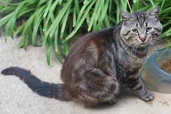 Bob Katz (SmittyImagingLtd) Tags: cat feline tiger large kitty stray malecat feral jowls joweled largejowls