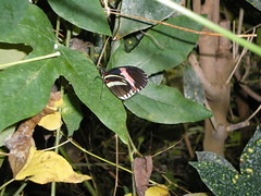 2008-10-18 Tropical Wings _51 (Velda Tiger Lily Varney) Tags: camera pentax compact cameraequipment pentaxoptiol30 brandmain