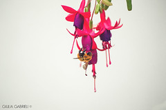 A testa in giù (Giulia Gabrieli Fotografia) Tags: flowers summer sun estate violet bee ape fiori sole viola fucsia cilento castellabate campanelle atestaingiù benvenutialsud
