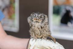 MN State Fair 2014_44016.jpg (Mully410 * Images) Tags: bird minnesota birds statefair fair raptor owl birdwatching birder birdsofprey minnesotastatefair easternscreechowl