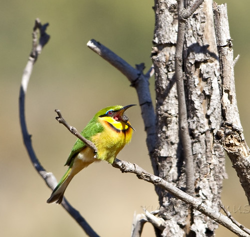 Little Bee-eater  casting a pellet of bee remains Wgfdn1532