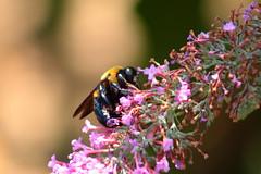 Bee & Flowers (Desmojosh) Tags: black yellow canon eos wildlife bees nj 70d