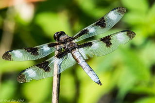 Twelve-spotted Skimmer [Libellula pulchella]