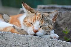 pennichella (Ste.Viaggio) Tags: pet cat nikon gatto viaggio stefano d7100 stevia1980 stevia80