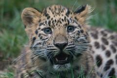 Passfoto ... :) (ClaudiB.) Tags: tiere frankreich leopard 1001nights tierpark amurleopard zoomulhouse 1001nightsmagiccity amurleopardbaby