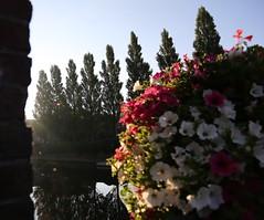 Flowers, poplar