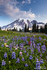 Mount Rainier and Flowers (Don Geyer) Tags: morning wild summer usa mountain mountains nature ecology landscape outside outdoors volcano landscapes us washington flora scenery soft unitedstates natural outdoor scenic meadow meadows peak glacier foliage mountrainier mountrainiernationalpark glaciers wa backcountry environment mornings summertime wilderness peaks habitat volcanic diffused scenics summers ecosystem volcanos cascaderange environments wilds habitats summertimes ecosystems naturalenvironment uncultivated naturalenvironments mountrainieraboveflowermeadowsonmazamaridge