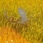 Backlit bull moose Hawley Unit cattails Seedskadee NWR thumbnail