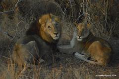 DSC_3404 (Arno Meintjes Wildlife) Tags: africa nature animal southafrica wildlife lion safari krugerpark pantheraleo arnomeintjes