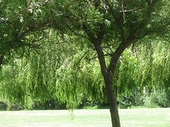 Tree (shaire productions) Tags: park summer plants detail macro tree green nature grass leaves garden outdoors photography leaf spring image outdoor picture pic photograph imagery