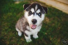 Merlin The Husky - 10 Weeks 2 (Alexandra Messick) Tags: red blackandwhite dog cute puppy husky huskies merlin karnovanda cutepuppies huskypuppy karnovandakennels