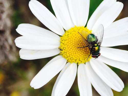 ~~ White Daisy with hungry Fly ~~