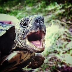 Aaaaargh!!! (paoloricciotti) Tags: tartaruga iphone iphone4 iphoneography