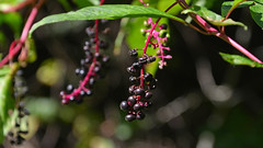 Fall Enters at His Own Speed (BKHagar *Kim*) Tags: al berries purple alabama athens pokeberries polkberries bkhagar