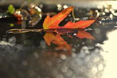 evening light (joy.jordan) Tags: light sunset reflection puddle leaf bokeh