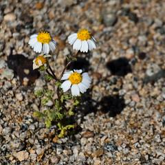 Tres hermanas (El ojo etnográfico) Tags: chile flores flower nature flor desiertoflorido copiapó floweringdesert