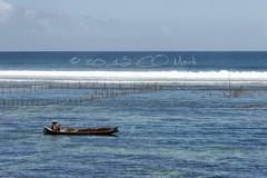 A la pche aux algues (Claude-Olivier Marti) Tags: ocean bali mer seaweed indonesia asia asie pcheur algues lembogan ocan indonsie nusalembogan seaweedculture culturedalgues champdalgue seaweedlembogan