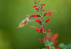 Rufous Hummingbird (Martin Dollenkamp) Tags: canada nature birds britishcolumbia vancouverisland hummingbirds rufoushummingbird selasphorusrufus hummingbirdflowers salviaexserta