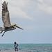 Pelican on Caye Caulker