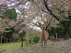 Hanami 2016 (destebani) Tags: 奈良 hanami nara japón sakura cerezo cherry blossom 日本 桜 花見 floración