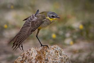 Yellow Wagtail | Motacilla flava | Kedidi Kuning